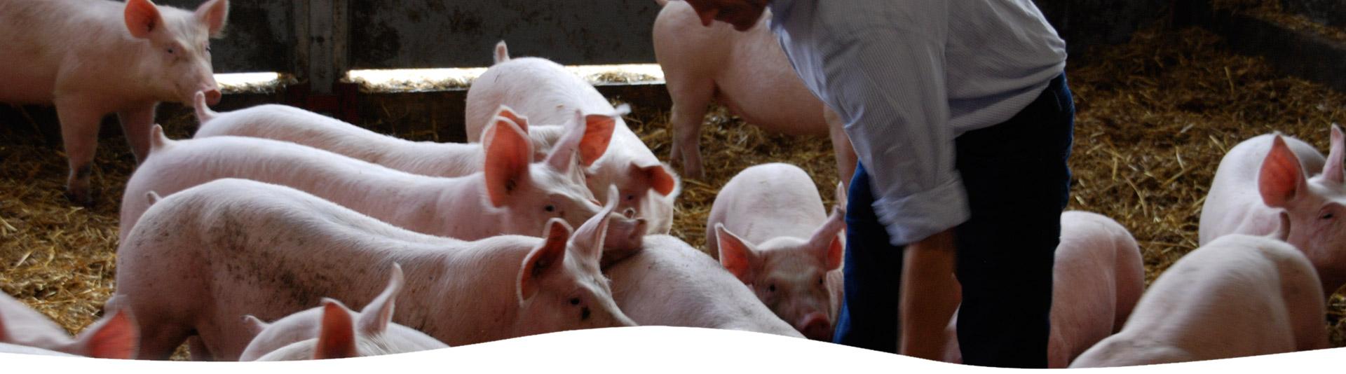porc fermier en Gironde